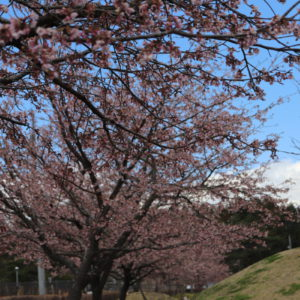 3/31桜公園