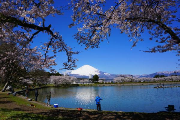 安藤 和昭さん「桜と富士と釣人」