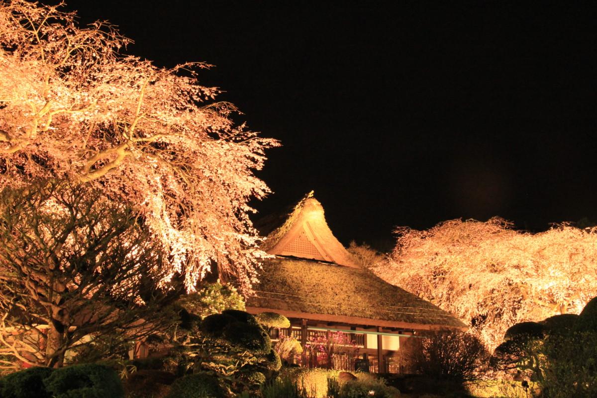 御殿場桜まつり・夜桜ライトアップ