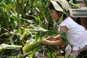 7月27日 とうもろこし収穫体験<br>2013.07.29 掲載